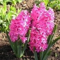 "Гиацинт восточный ""Ред Меджик"" (Hyacinthus orientalis 'Red Magic')"
