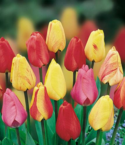 tulips-dwh-mixed_enl